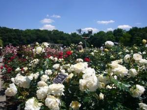 噴水の周りには、色とりどりのバラが咲いています。